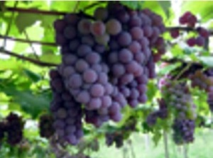 A experiência dos parreirais de uva no Centro-Oeste brasileiro